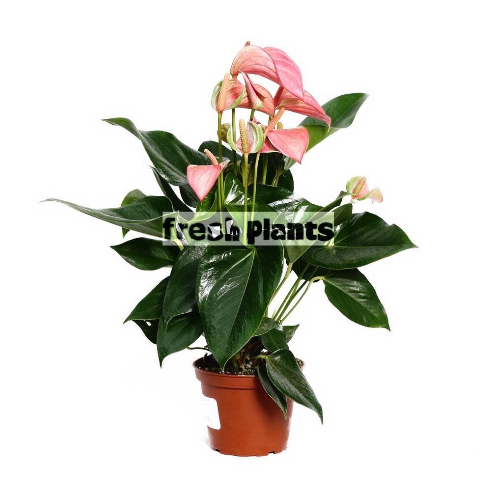 Цветок антуриум и спатифиллум 154