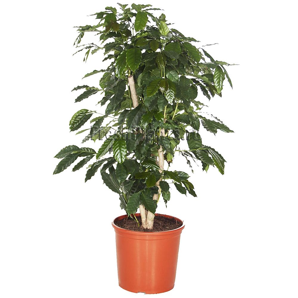 Дерево кофе арабика в домашних условиях 713