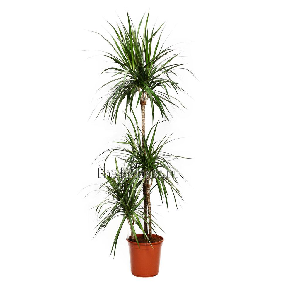 Изкуствени палми и дръвчета  Драцена Маргината