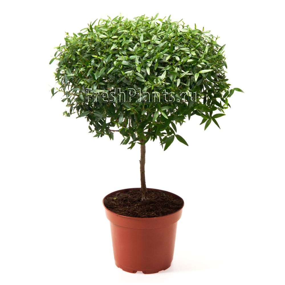 растение мирт