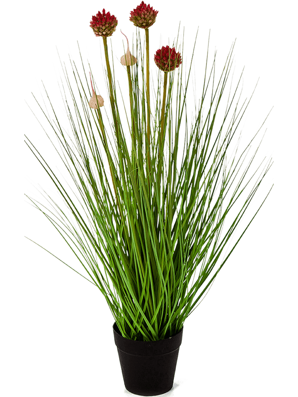 30/allium-grass-8fw91n050
