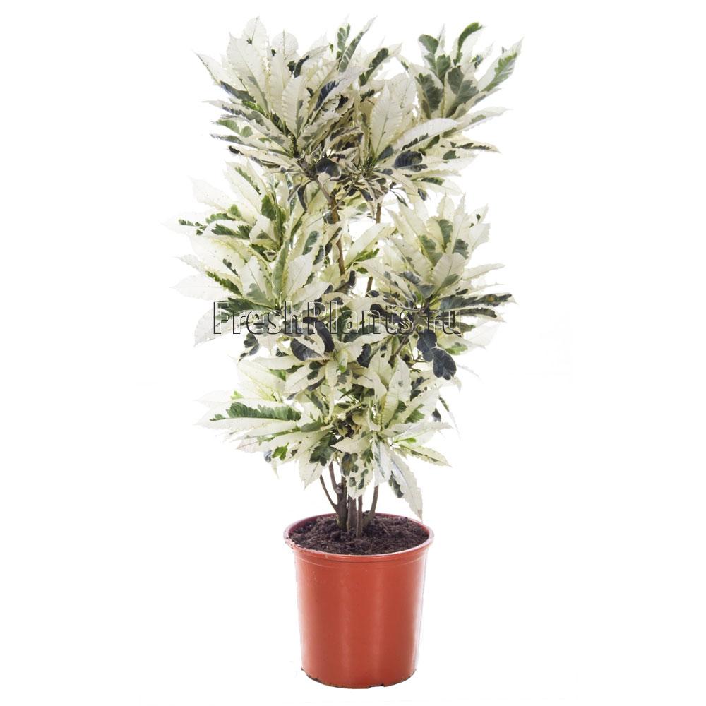 Кротон  фото видов кодиеума и как цветет растение видео