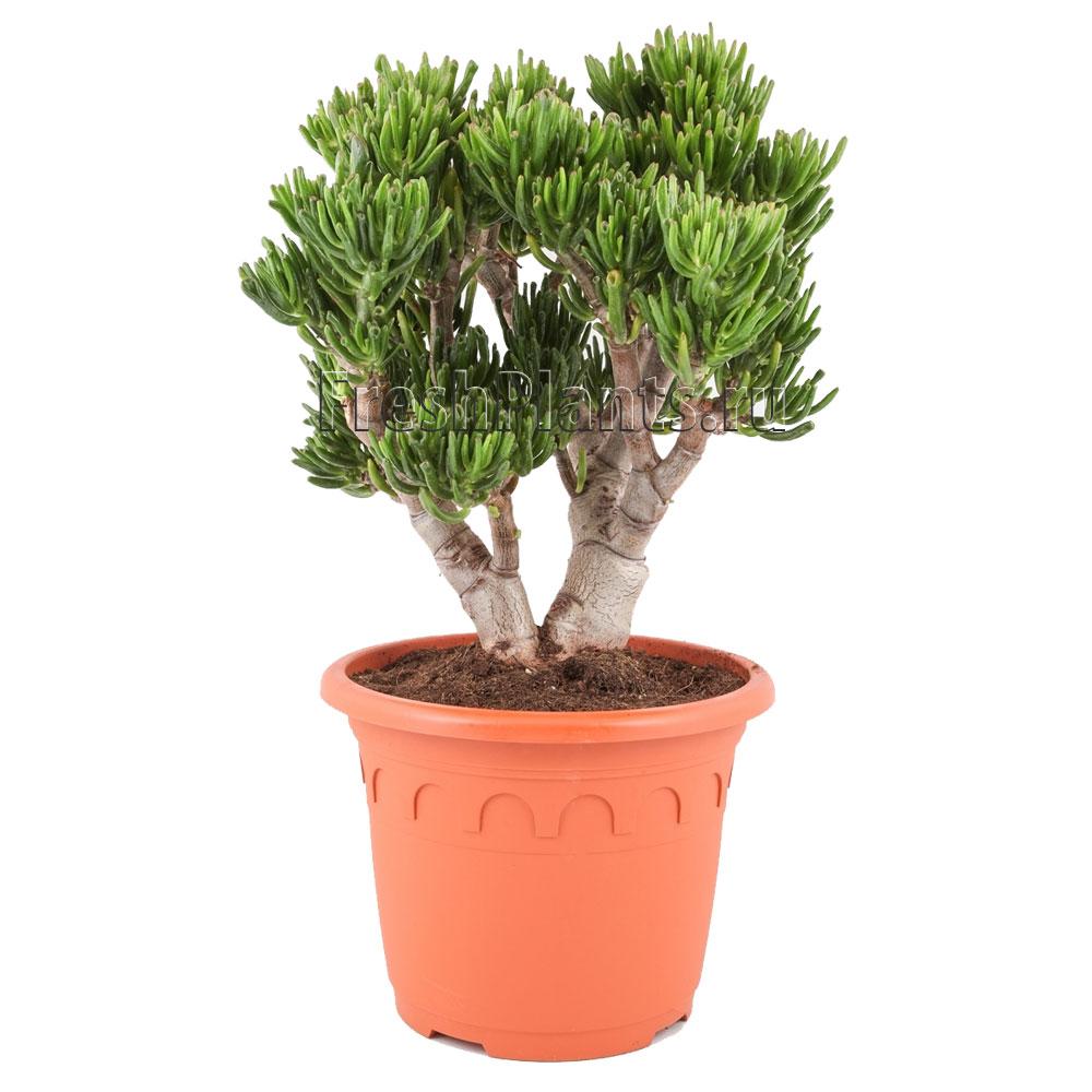 фото декоративно лиственных растении