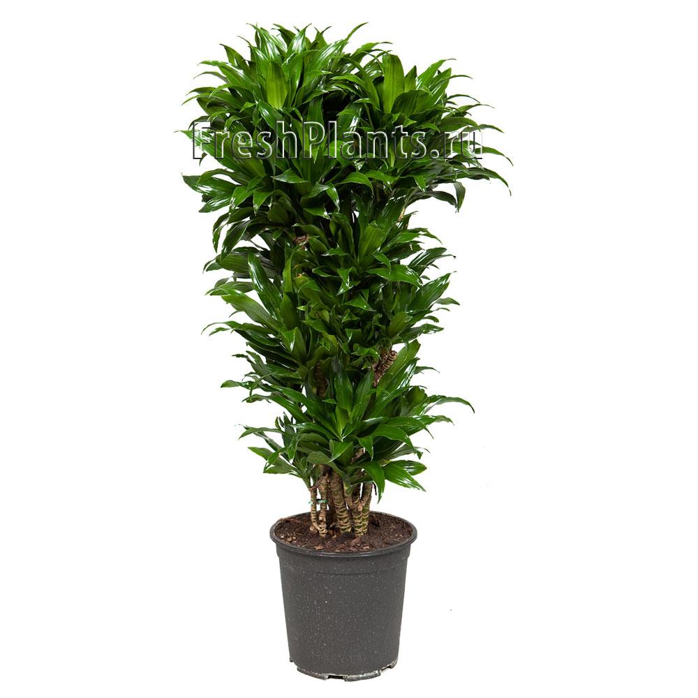 Домашние пальмы  разновидности комнатных пальм фото с
