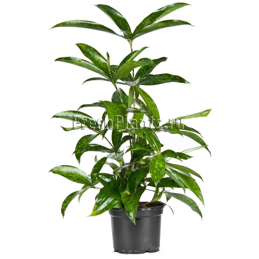 уход за комнатными растениями в домашних условиях драцена