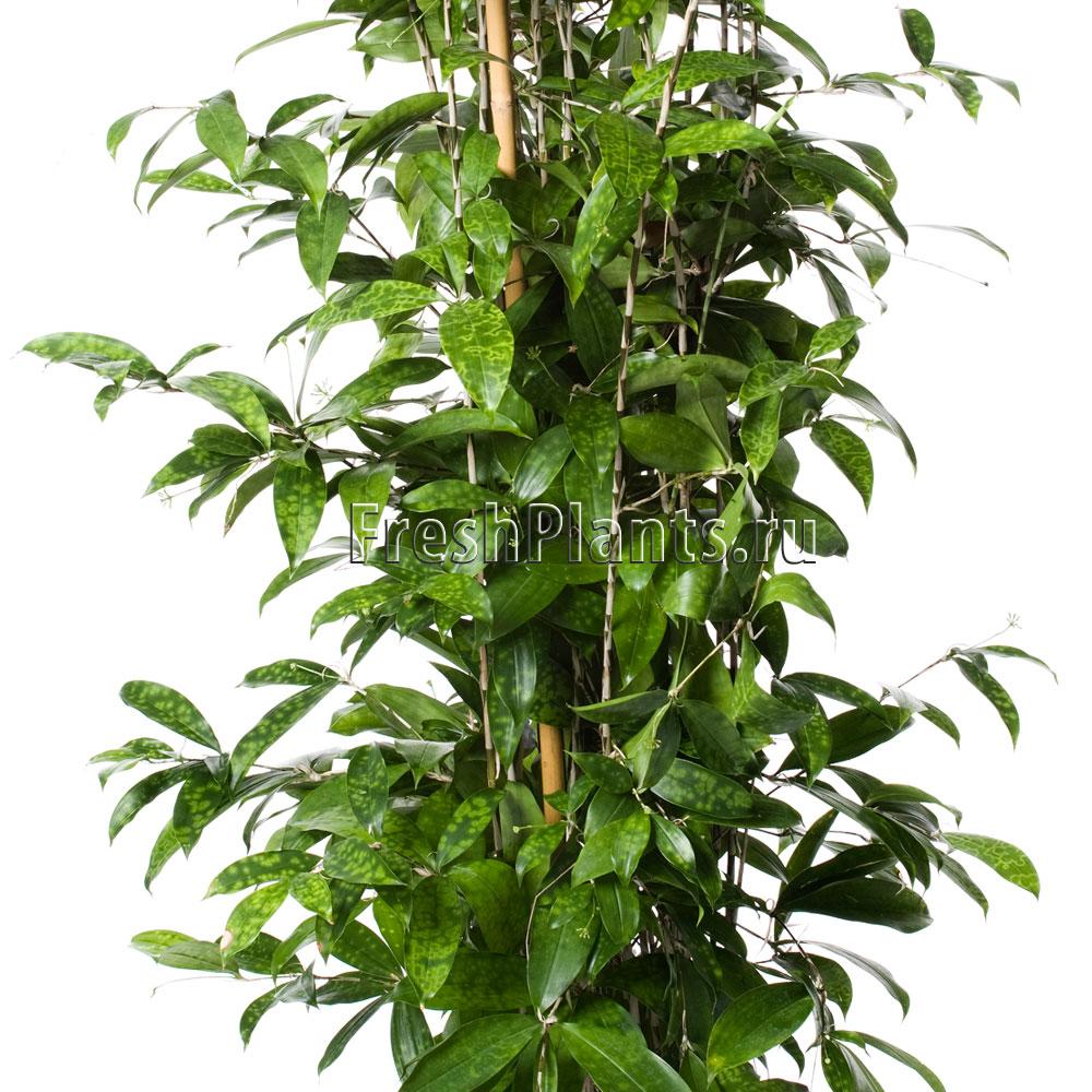 дерево счастья уход за драценой в домашних условиях