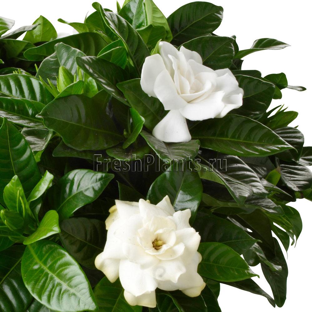 Купить цветы гардения в спб доставка каллы цветов в сочи