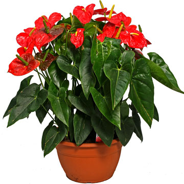 anthurium-andreanum-dakota