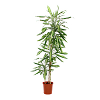 dracaena-fragrans-golden-coast-3-stem-130cm-plant