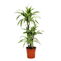 dracaena-lemon-lime-3-stem-100cm-plant