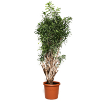 dracaena-song-of-jamaica-180cm-plant2