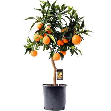 Большое апельсиновое дерево дома натуральное